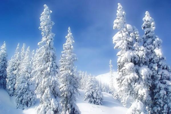 Cielo azul sobre unos pinos cubiertos de nieve