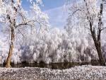 Árboles blancos junto a un río