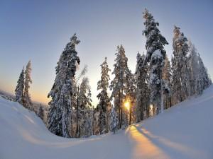 El sol tras los pinos blancos