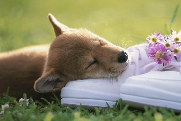Cachorro dormido sobre unas deportivas blancas