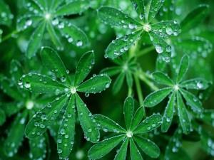 Postal: Gotas de agua sobre las hojas verdes de una planta