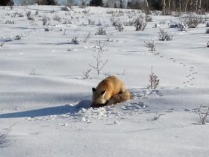 Zorro dormido sobre la nieve