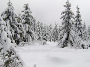 Grandes pinos cubiertos de nieve