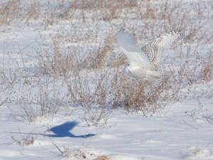Búho nival proyectando su sombra sobre la nieve
