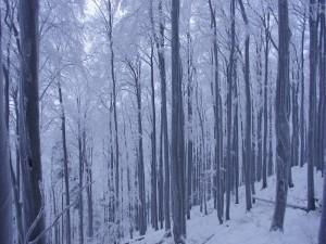 Postal: Nieve entre los árboles de un bosque