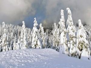 Pinos soportando el peso de la nieve