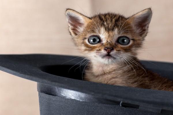 Gatito dentro de un sombrero
