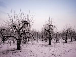 Manzanos en invierno