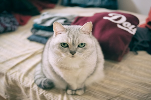 Un bello gato con ojos verdes