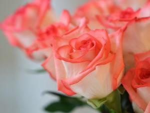 Esplendorosas rosas