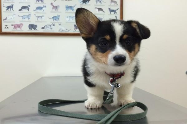 Un amoroso cachorro visitando al veterinario