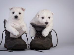 Perritos dentro de unas botas de montaña