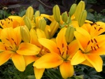Un ramo de lirios amarillos