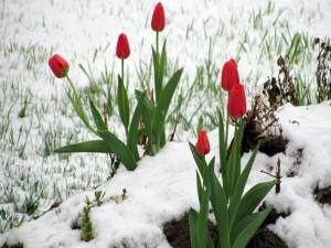 Tulipanes rojos en la nieve
