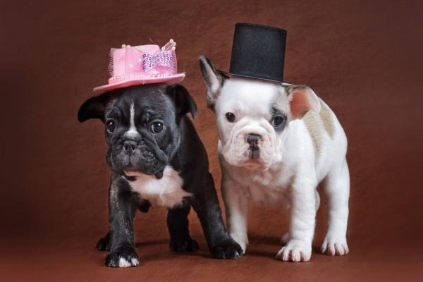 Cachorros de bulldog con unos graciosos sombreros