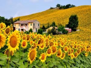 Campo de girasoles en Italia