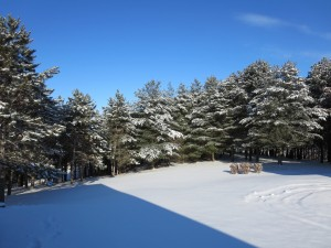 Pinos sobre la nieve