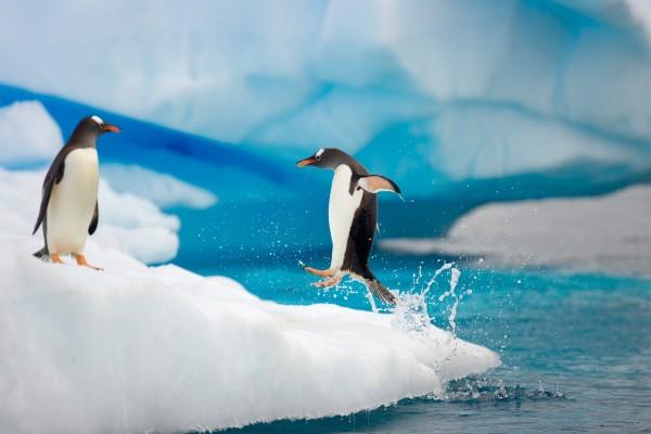 Pingüino saltando hacia el hielo