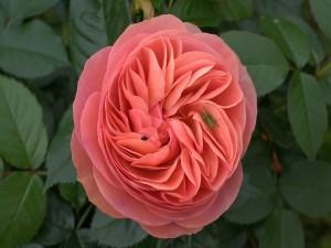 Postal: Insectos en una rosa color rosa