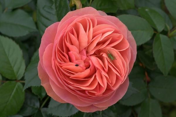 Insectos en una rosa color rosa