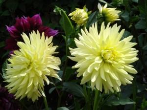 Coloridas y vistosas dalias en un jardín