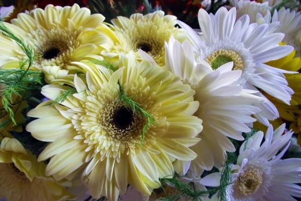 Espléndidas gerberas blancas y amarillas