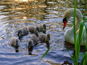 Postal: Cisnes aprendiendo a nadar