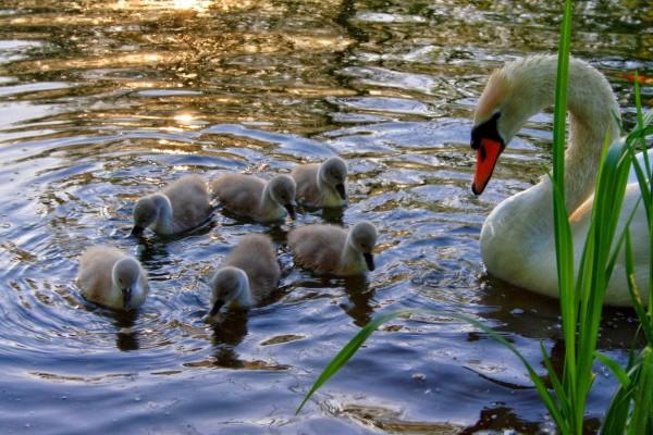 Cisnes aprendiendo a nadar