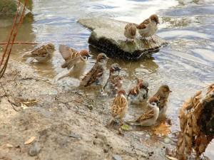 Gorriones bañándose