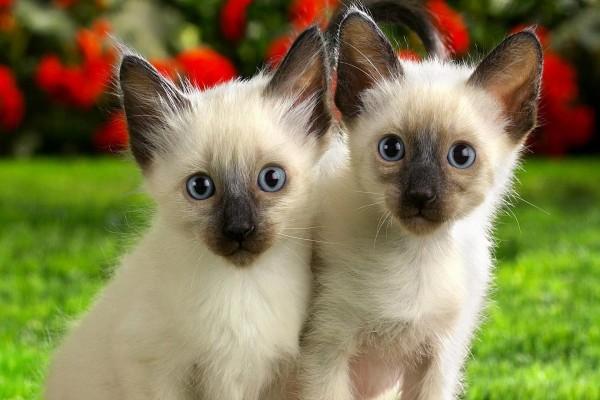 Pareja de gatos siameses en un jardín