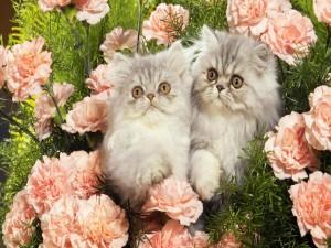 Postal: Gatos entre los claveles rosas de un jardín