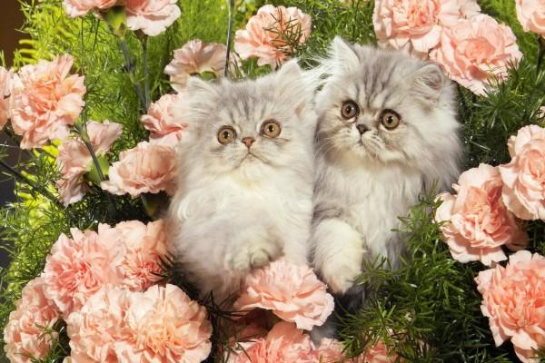 Gatos entre los claveles rosas de un jardín