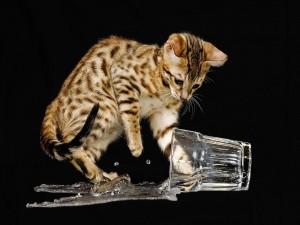 Gatito derramando el agua de un vaso