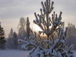 Sol tras un pino cubierto de nieve