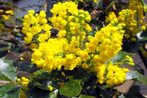 Abeja revoloteando sobre unas flores amarillas