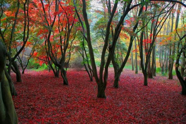 Árboles otoñales sobre un manto de hojas rojas