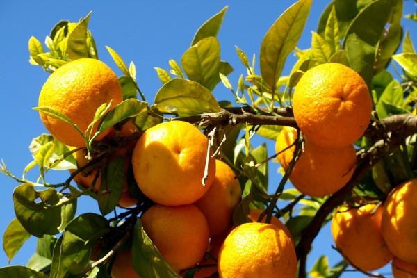 Naranjas en las ramas del árbol