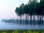 Niebla entre los árboles