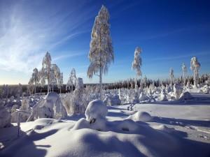 Ramas dobladas por el peso de la nieve