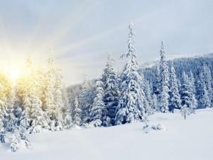 Sol brillando tras unos pinos nevados