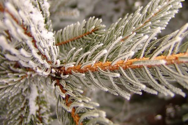 Rama de pino helada
