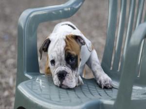 Postal: Perrito en una silla