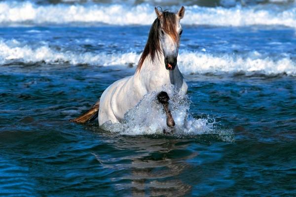 Caballo en el agua del mar