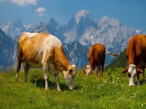 Postal: Vacas pastando en los Alpes