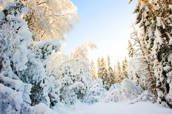 Nieve en los pinos