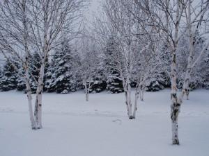 Postal: Árboles y pinos sobre la nieve