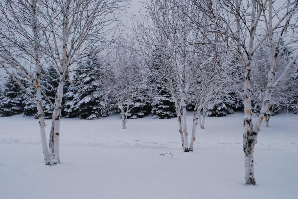 Árboles y pinos sobre la nieve