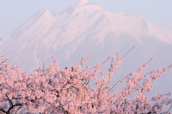 Cerezos en flor y una gran montaña
