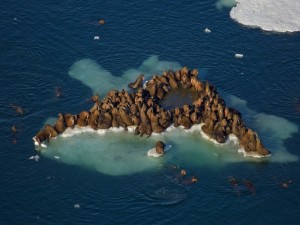 Colonia de morsas sobre un bloque de hielo