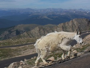 Postal: Cabra blanca caminando